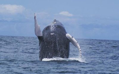 Costa Rica is One of the Best Places in the World to Spot Humpback Whales